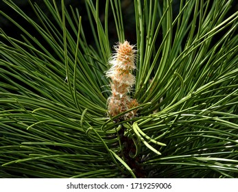 male and female inflorescences pine trees growing in the park above the white river in the city of Bialystok in the Podlasie region in Poland - Shutterstock ID 1719259006