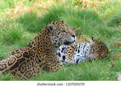 male and female of the Jaguar during mating season