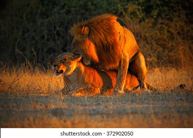 Male and female of Katanga Lion, Panthera leo bleyenberghi, mating action scene, animal behavior in the nature habitat with evening orange light, during sunset. Chobe National Park in Botswana, Africa
