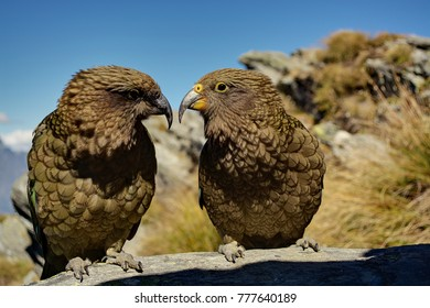A male and female Kea look at each other on Ben Lomond, near Queenstown, New Zealand