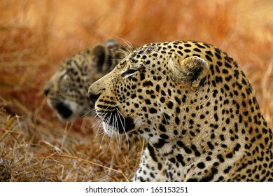Male and Female leopards