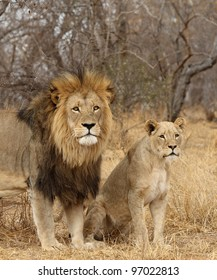 Male and Female Lion Images, Stock Photos & Vectors