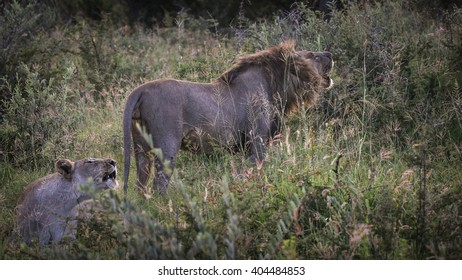 Male and female lion courting in the bush, South Africa