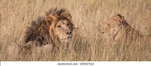 Male and female lion in the grass in the Masai Mara