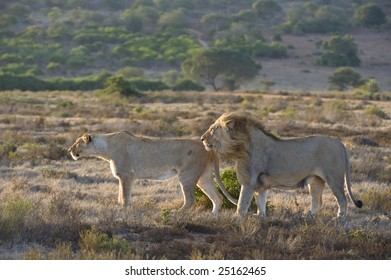 A male and female lion hunt on the plains