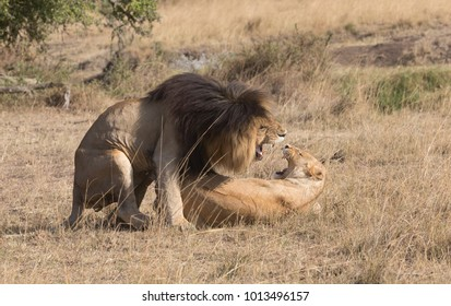 Male and female of lion are meeting and sex into savannah in Africa. It is good pictures of real wildlife. It is excellent photos shot in good soft light.