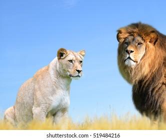 Lion Couple Images, Stock Photos & Vectors | Shutterstock
