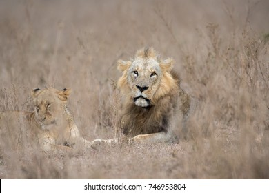 Male and female lion resting in Nairobi National Park in Kenya
