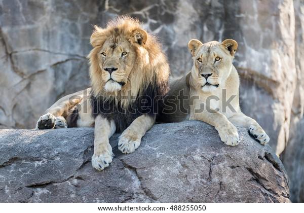Lion mâle et femelle assis sur un rocher