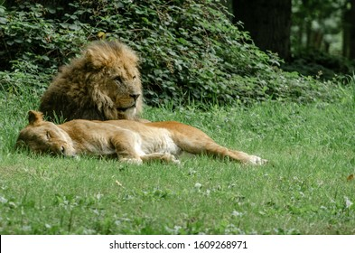A male and female lion take rest in the sunlight