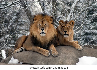 Male and female lions in the winter