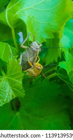 Male and female locust on vine leaves. Mating, yellow male and larger green brown female locust. Close-up view. Locusts are certain species of short-horned grasshoppers in the family Acridida