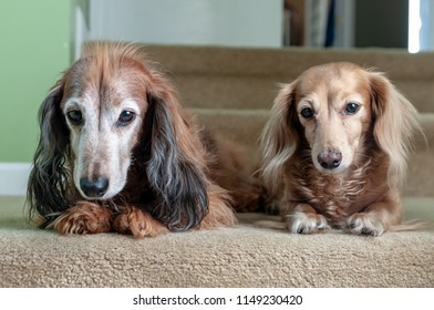 Male and female long haired dachshund.