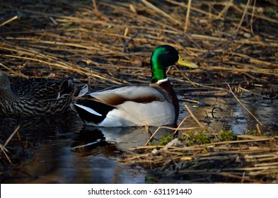 Male And Female Mallard Duck Looking For Food In Forest Puddle