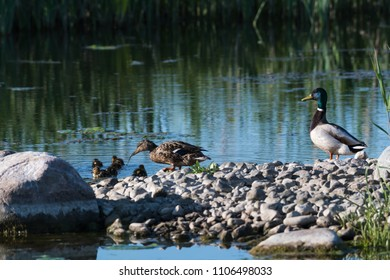 Male and female Mallards,  Anas Platyrhynchos, with duckling in their natural habitat