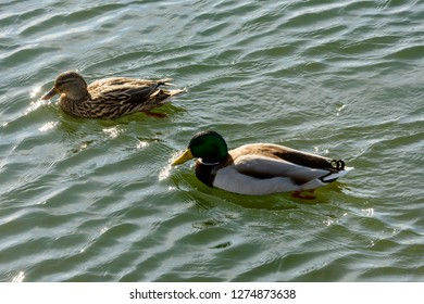a male and a female mallards  floating on waters of Verbano lake, shot in bright winter light at Angera, Verbano, Varese, Lombardy, Italy