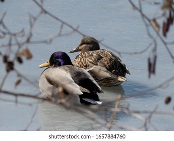Male and female mallards resting on ice.
