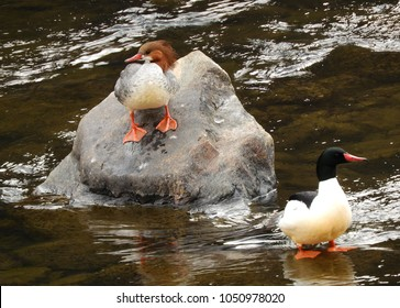 male and female mergansers on a boulder in the south platte river in waterton canyon in littleton, colorado