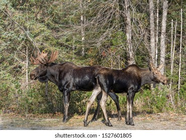Male and female moose standing next to each other in fall in Southeast Alaska.