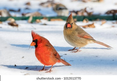 Male and Female Northern Cardinals Looking for Food in the Snow