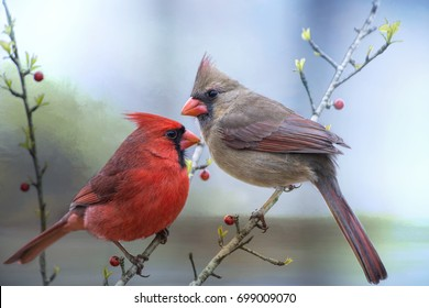 Male and Female Northern Cardinals Perched on Yaupon Holly Branches