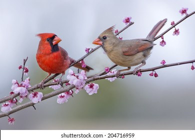 Male and Female Northern Cardinals in Plum Tree
