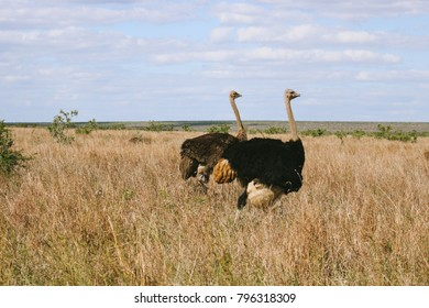 A male and female ostrich couple walking in the bush veld of South Africa