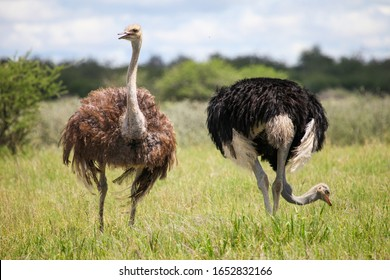 Male and female ostriches in a southern African grassland