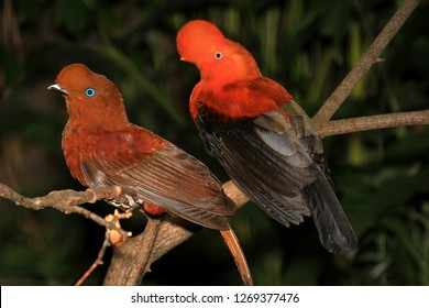 Male And Female Pair of Andean Cocks of The Rock Tropical Birds