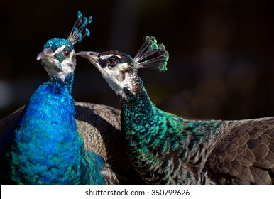 Male and female peacock telling each other a secret