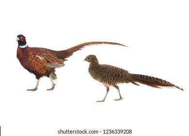 male and female pheasant is isolated on a white background