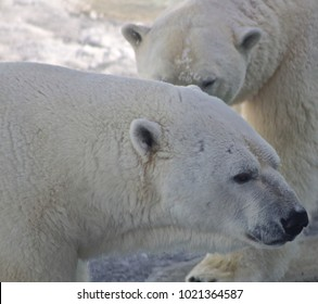 Male & female polar bear, close up