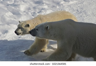 Male and female polar bears