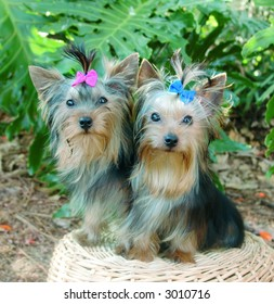 Male and female pure breed yorkshire terriers