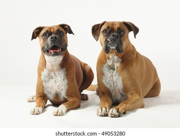 male and female purebred boxer dogs on white background