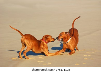 A male and a female purebred Rhodesian Ridgeback dogs playing together on the beach in summertime.