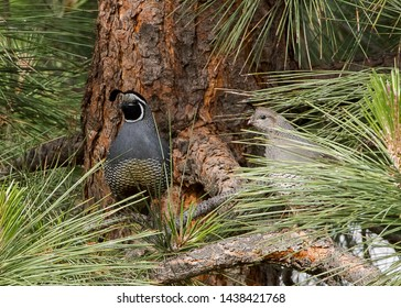 Male and female quail in a pine tree. Male quail is on watch, female quail is hiding behind pine needles.