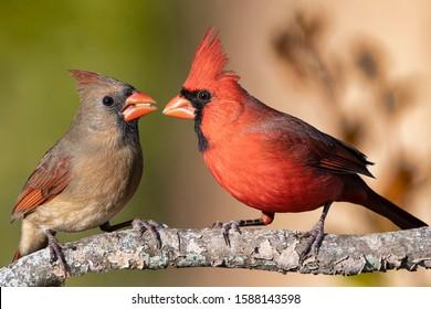 Male and Female Redbirds in Louisiana Autumn