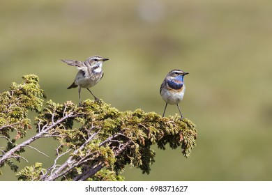 Male and female red-spotted bluethroat (Luscinia svecica volgae) in Jotunheimen National Park (Norway)