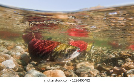 Male and female Sockeye Salmon in shallow river with sky and surface reflections, gravel bed - Adams River, British Columbia, Canada