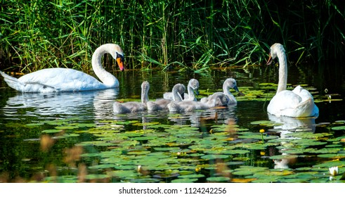 Male and female of swans and their young chicks. The mute swan (Cygnus olor) is a famous species of swans belonging to the waterfowl family of Anatidae