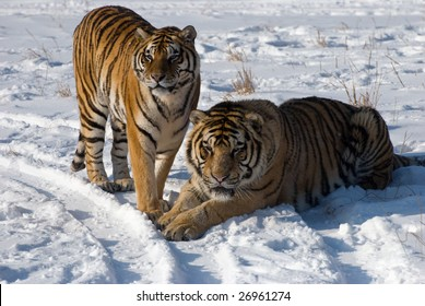 Male and female tiger pair in the snow.
