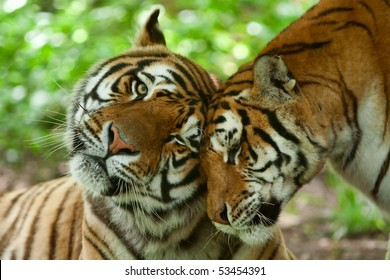 Male And Female Tiger In A Romantic Pose In Their Nature Habitats