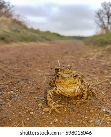 Male and female toad mating pair on a path on the way to a pond.
