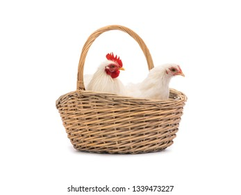 male and female white hen in the basket isolated on white background