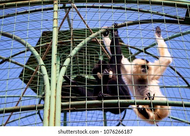 Male and female yellow-cheeked gibbon (Nomascus gabriellae), also called the golden-cheeked, yellow-cheeked crested, the golden-cheeked crested, red-cheeked, or the buffed-cheeked gibbon