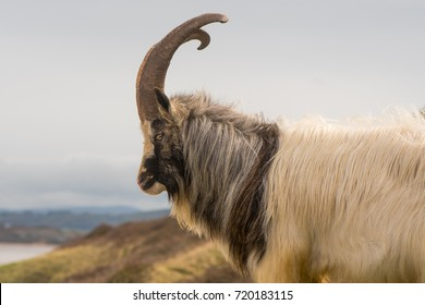 Male feral mountain goat head on with large horns in profile. Long-haired billy goat at Brean Down in Somerset, part of a wild herd