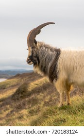 Male feral mountain goat head on with large horns portrait. Long-haired billy goat at Brean Down in Somerset, part of a wild herd