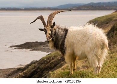 Male feral mountain goat head on with large horns on coast. Long-haired billy goat at Brean Down in Somerset, part of a wild herd