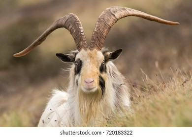 Male feral mountain goat head on with large horns head on. Long-haired billy goat at Brean Down in Somerset, part of a wild herd